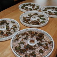 Step 8 - Remove from dehydrator trays