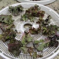 Step 6 - Place kale on dehydrator trays
